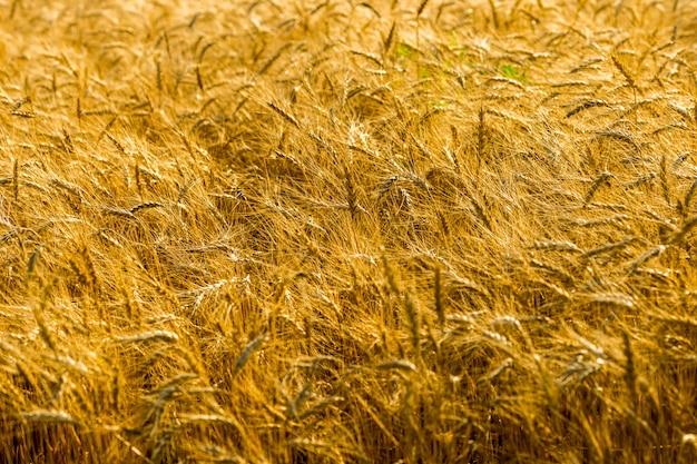 Pole dojrzałej pszenicy