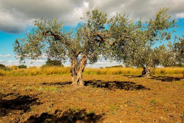 Pole drzew oliwnych późnym popołudniem
