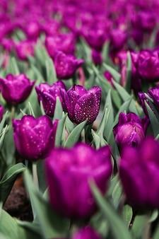 Pole fioletowe tulipany