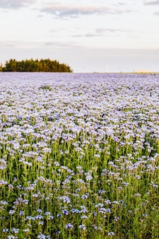 Pole fioletowych dzikich kwiatów w okresie letnim