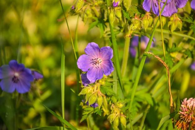 Pole geranium zbliżenie kwiaty fioletowe kwiaty w trawie cętkowany geranium