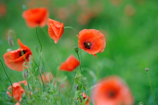 Pole jasnoczerwonych kwiatów maku kukurydzianego w lecie