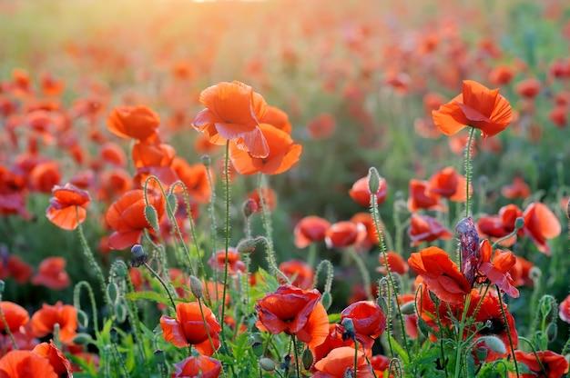 Pole jasnoczerwonych kwiatów maku kukurydzy w lecie