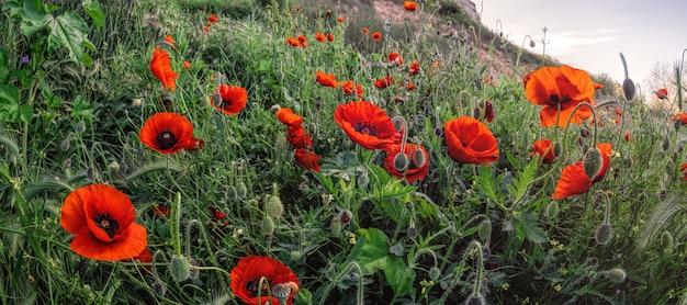 Pole jasnoczerwonych kwiatów maku papaver rhoeas wiosną