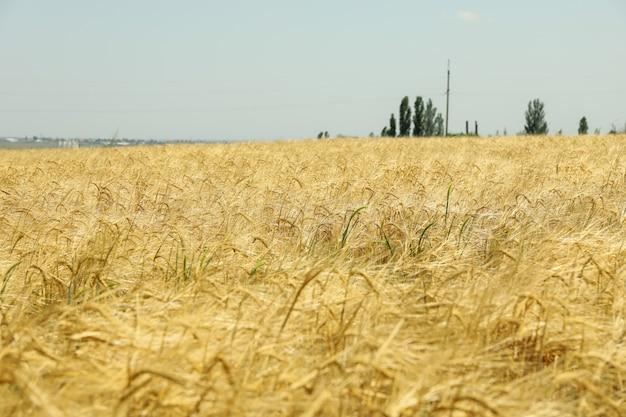Pole jęczmienia. niesamowity słoneczny dzień. rolnictwo i rolnictwo