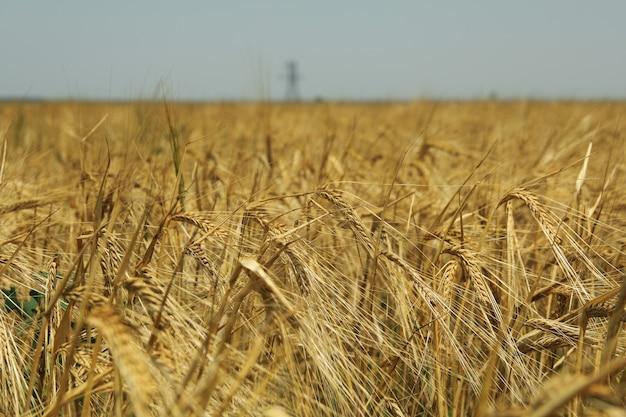 Pole jęczmienia. rolnictwo i rolnictwo. pierwsze letnie zbiory