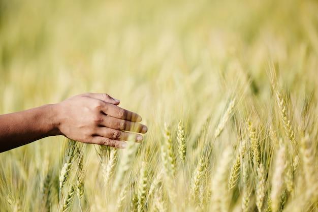 Pole jęczmienia rolnika ciesząc się świetnymi zbiorami.