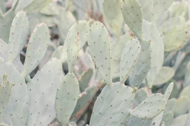 Pole kaktusa opuntia humifusa