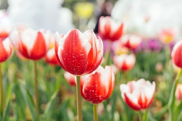 Pole kolorowych tulipanów