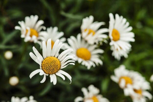 Pole kryształowych białych rumianków na tle soczystej letniej trawy.