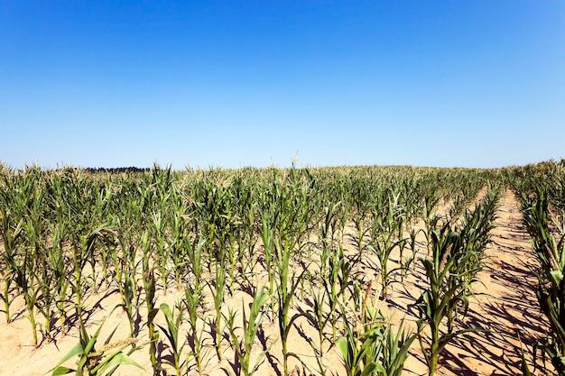 Pole, które zwiększa plon kukurydzy na wykresie z bliska. niedojrzała kukurydza