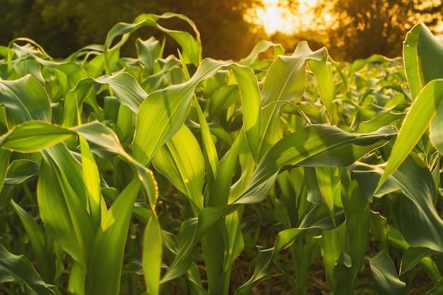 Pole kukurydzy i zachód słońca. koncepcja rolnictwa
