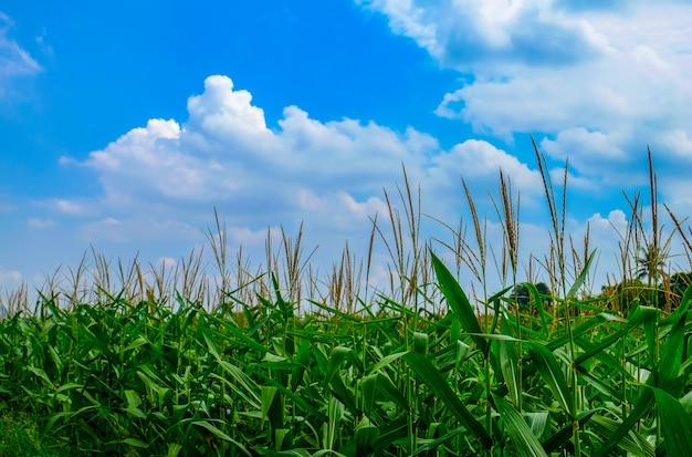 Pole kukurydzy. krajobraz rolniczy z zielonym polem kukurydzy i niebieskim pochmurnym niebem. dobra pogoda i piękny widok.
