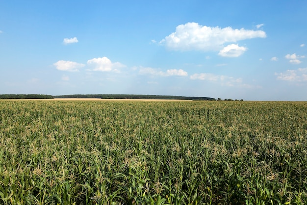 Pole kukurydzy, lato - pole uprawne z niedojrzałą zieloną kukurydzą, z bliska