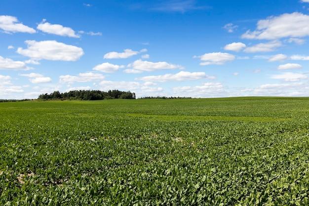 Pole kukurydzy, letnie pole uprawne z niedojrzałą zieloną kukurydzą, błękitne niebo