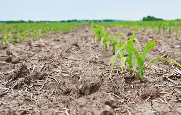 Pole kukurydzy: młode rośliny kukurydzy rosnące w słońcu.