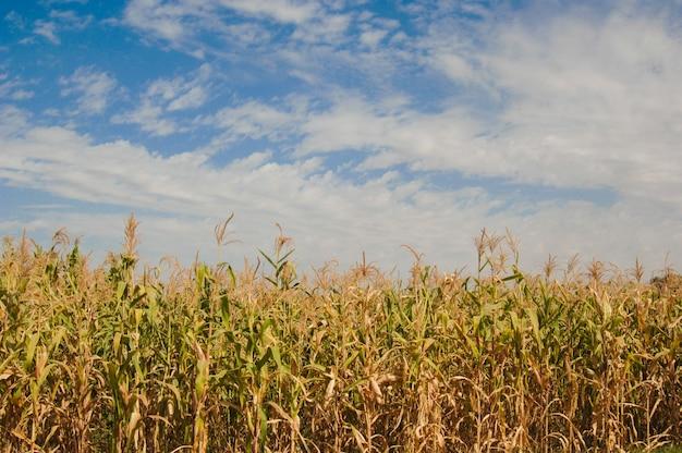 Pole kukurydzy na tle błękitnego nieba z chmurami