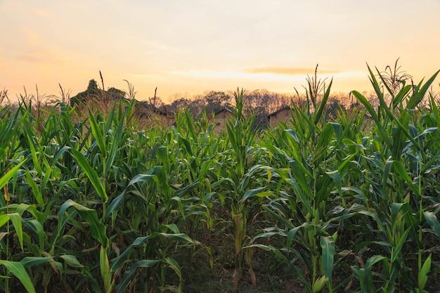 Pole kukurydzy o zachodzie słońca