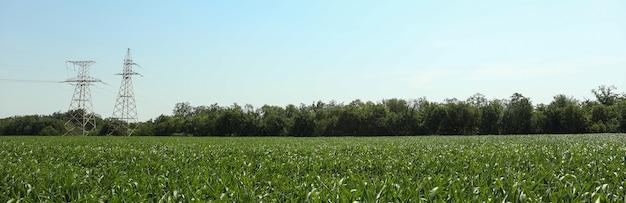 Pole kukurydzy. piękny słoneczny dzień. rolnictwo. działalność rolnicza