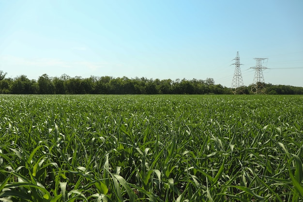 Pole kukurydzy. piękny słoneczny dzień.