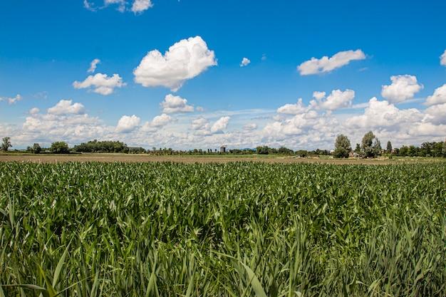 Pole kukurydzy pod błękitnym niebem z chmurami w słoneczny dzień