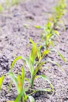 Pole kukurydzy pole uprawne wiosny z młodych kukurydzy w sezonie wiosennym białorusi zbliżenie