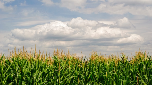 Pole kukurydzy w gorący letni dzień