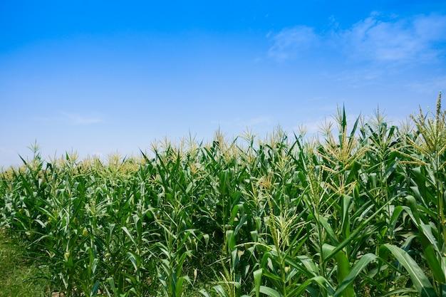 Pole kukurydzy w pogodny dzień