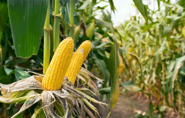 Pole kukurydzy w zachodzie słońca