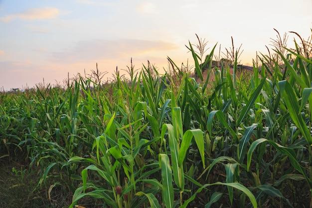 Pole kukurydzy wieczorem