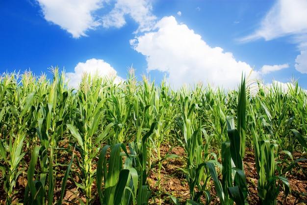 Pole kukurydzy z niebieskim niebem.