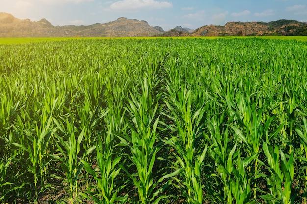Pole kukurydzy z zachodem słońca na tle wsi i gór