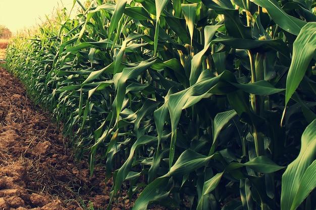 Pole kukurydzy ze wschodem słońca