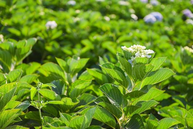 Pole kwiatów hortensji w ogrodzie hortensji piękny kwiat kwitną w gorącym słońcu