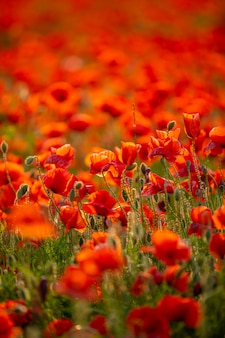 Pole kwiatów maku kwitnących wiosną, republika czeska