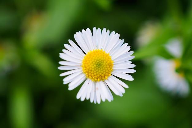 Pole kwiatów piękna stokrotka na zielonej łące