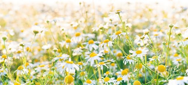 Pole kwiatów rumianku panoramiczne tło w świetle słonecznym.