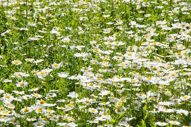 Pole kwiatów stokrotek, duża grupa rumianków, światło dzienne i na zewnątrz