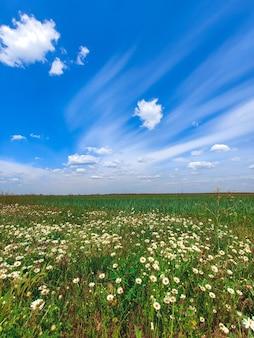 Pole kwiatów stokrotek z błękitnym niebem i chmurami letnia wiosenna łąka