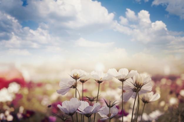 Pole kwiatu kosmosu