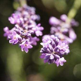 Pole kwiatu lawendy zbliżenie na niewyraźne tło