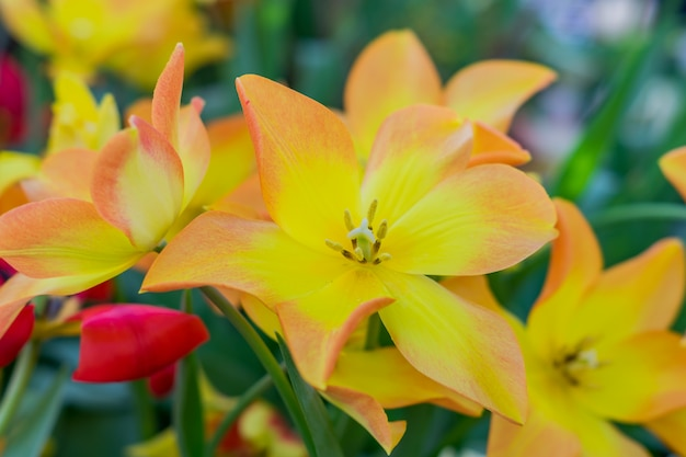 Pole kwitnących kolorowych tulipanów