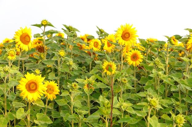 Pole kwitnących słoneczników na białym tle, baner, koncepcja lato i słońce