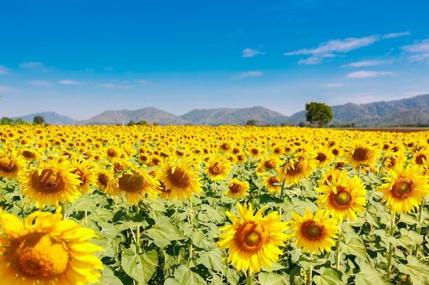 Pole kwitnących słoneczników na niebieskim tle nieba, piękny lanscepe w azji.