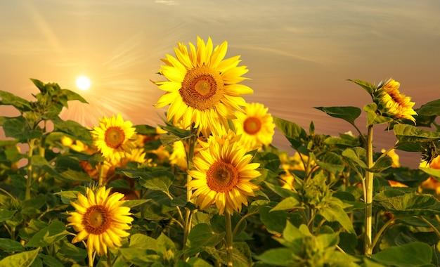 Pole kwitnących słoneczników na tle koncepcji zachodu słońca, lata i słońca