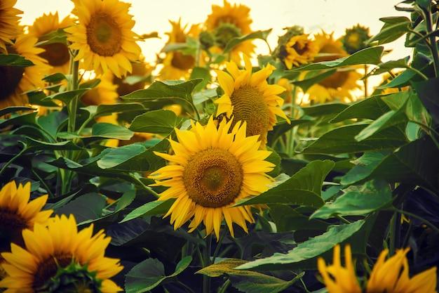 Pole kwitnących słoneczników. selektywna ostrość. natura