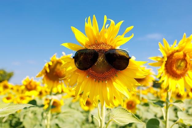Pole kwitnących słoneczników z okularami przeciwsłonecznymi na błękitnym tle, piękny lanscepe w azji.