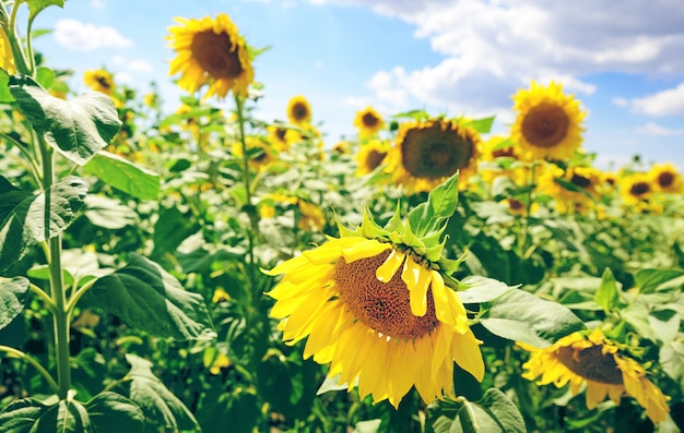 Pole kwitnących słoneczników