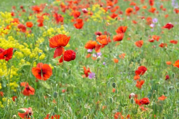Pole maków z zieloną trawą i żółtymi kwiatami
