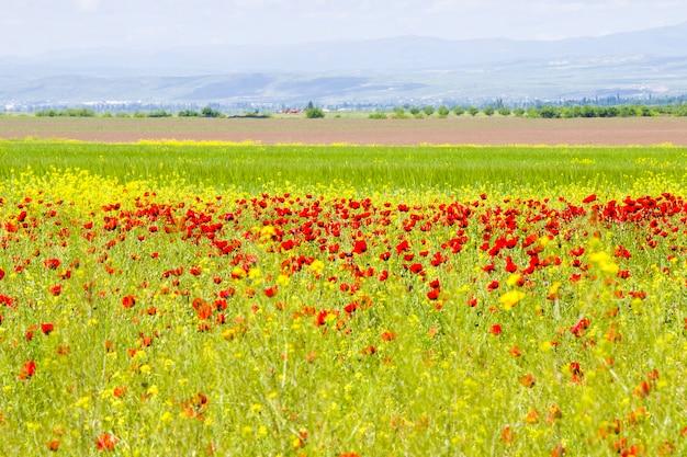 Pole makowe i żółte kwiaty, światło dzienne i plener, gruzińska przyroda
